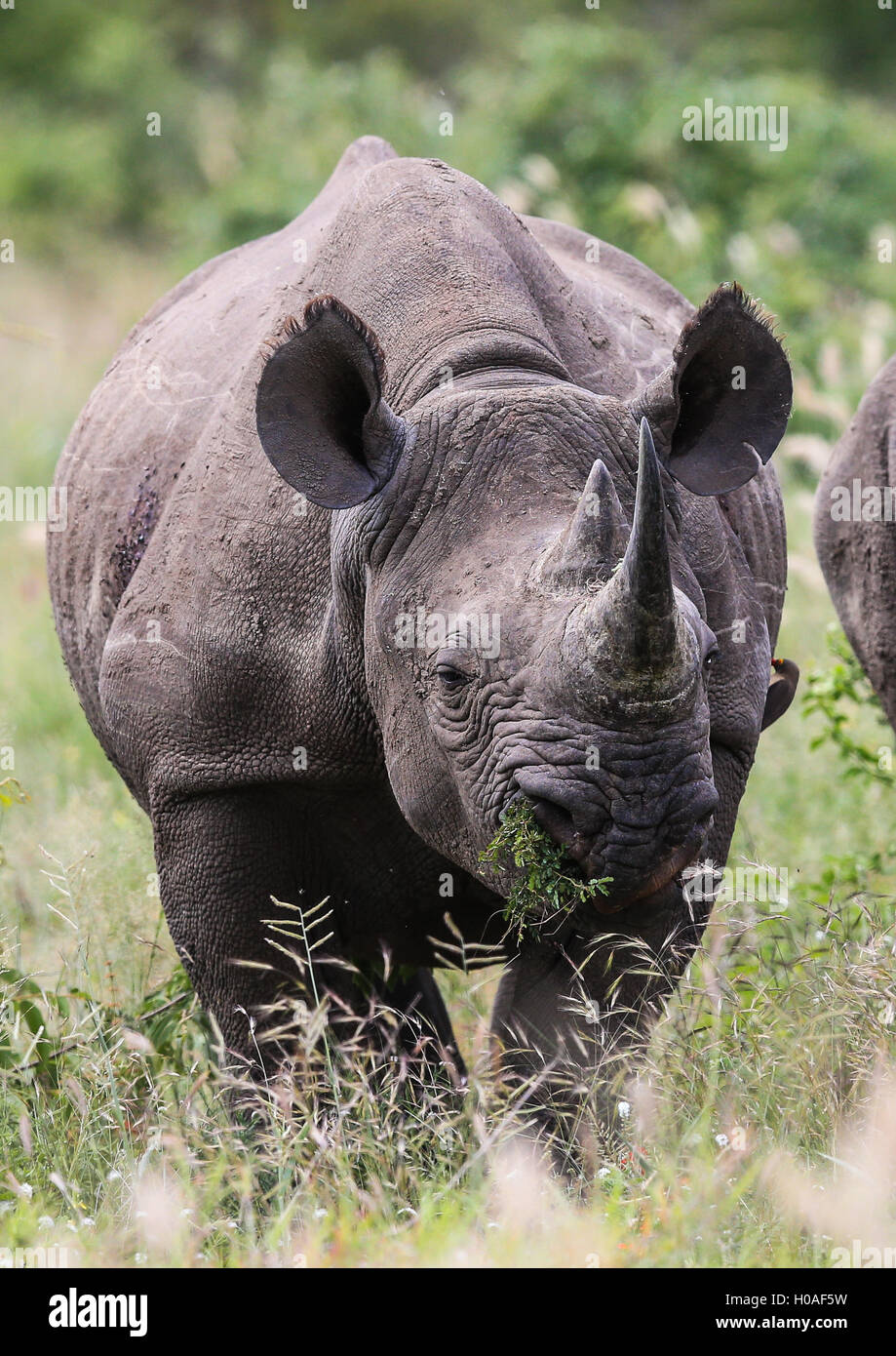 Male Black Rhino grazing at The Kruger National Park South Africa - Stock Image