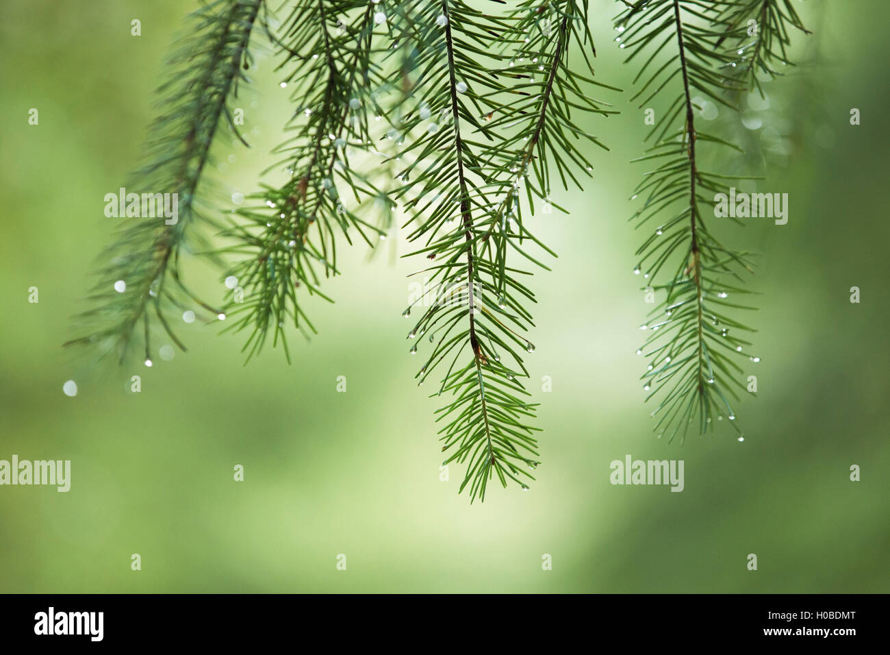 Raindrops on pine tree branches. - Stock Image