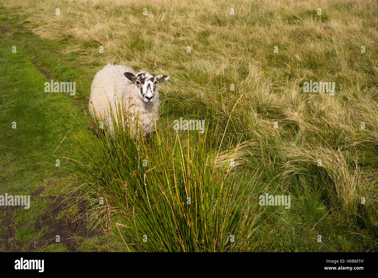A bold and distinctive Masham sheep  on the Pennine Way, Upper Teesdale, Durham, England, UK - Stock Image