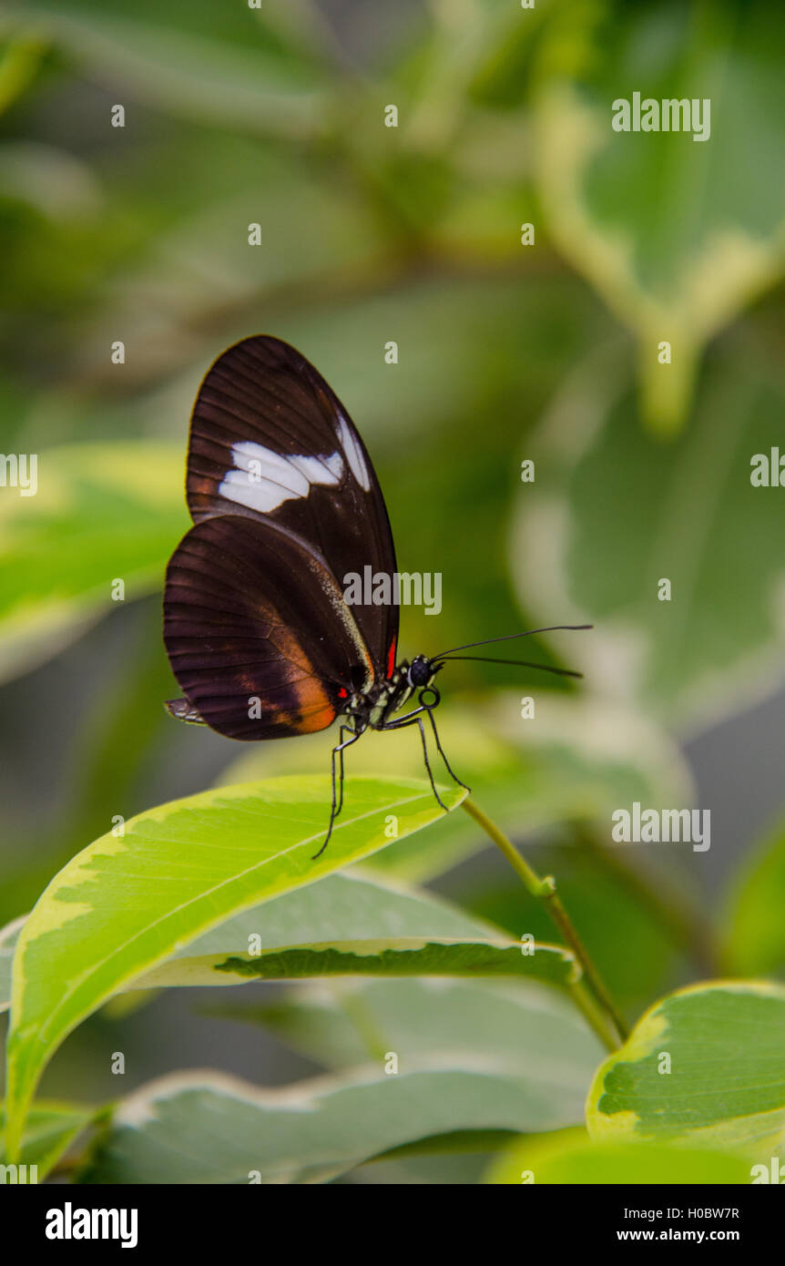 Heliconius hewitsoni butterfly sitting on a leaf - Stock Image