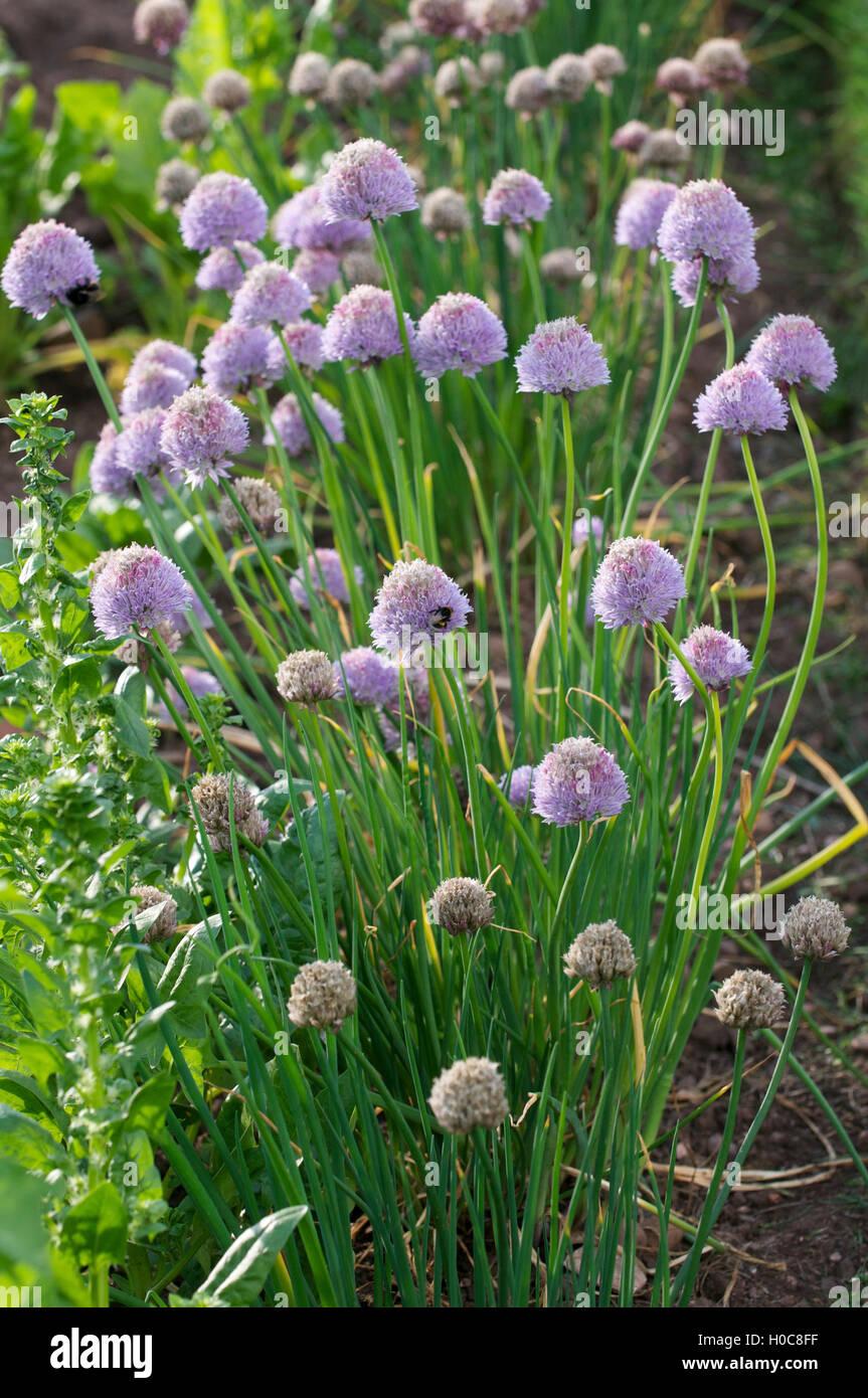 Allium flowers. - Stock Image