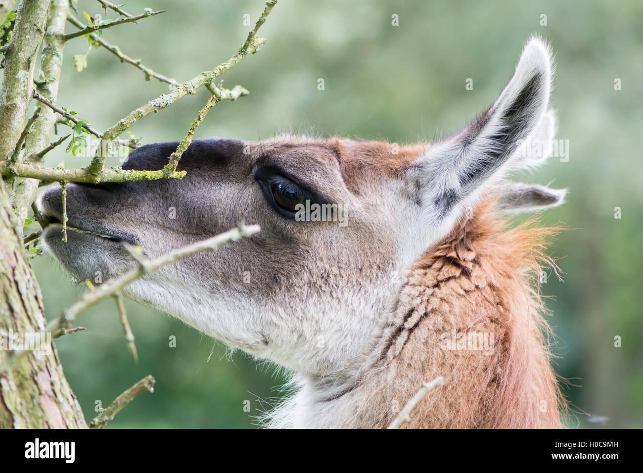 Llama grazing leaves from thorn bush. Domesticated camelid delicatly grazing leaves from hawthorn tree, avoiding - Stock Image