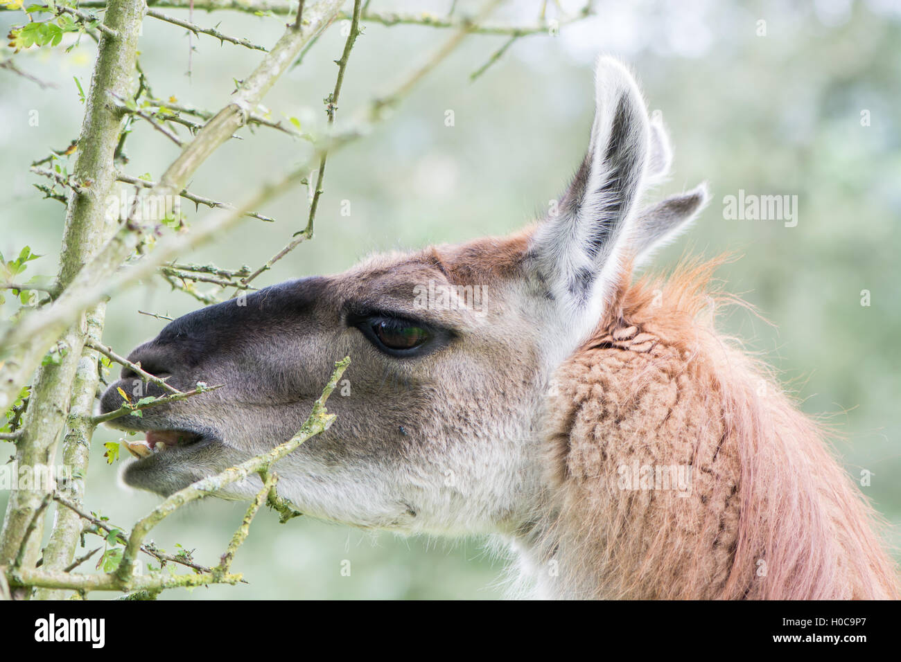 Llama delicately eating leaf from thorn bush. Domesticated camelid delicatly grazing leaves from hawthorn tree, - Stock Image