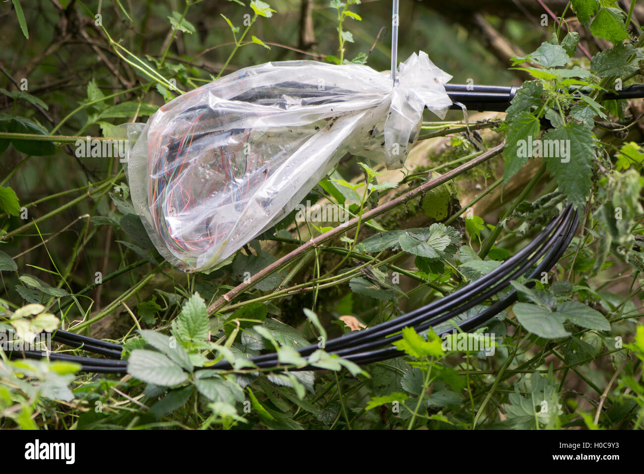 Temporary repair of telephone cable. Spliced wires among vegetation within telecommunication cable after hasty repair - Stock Image