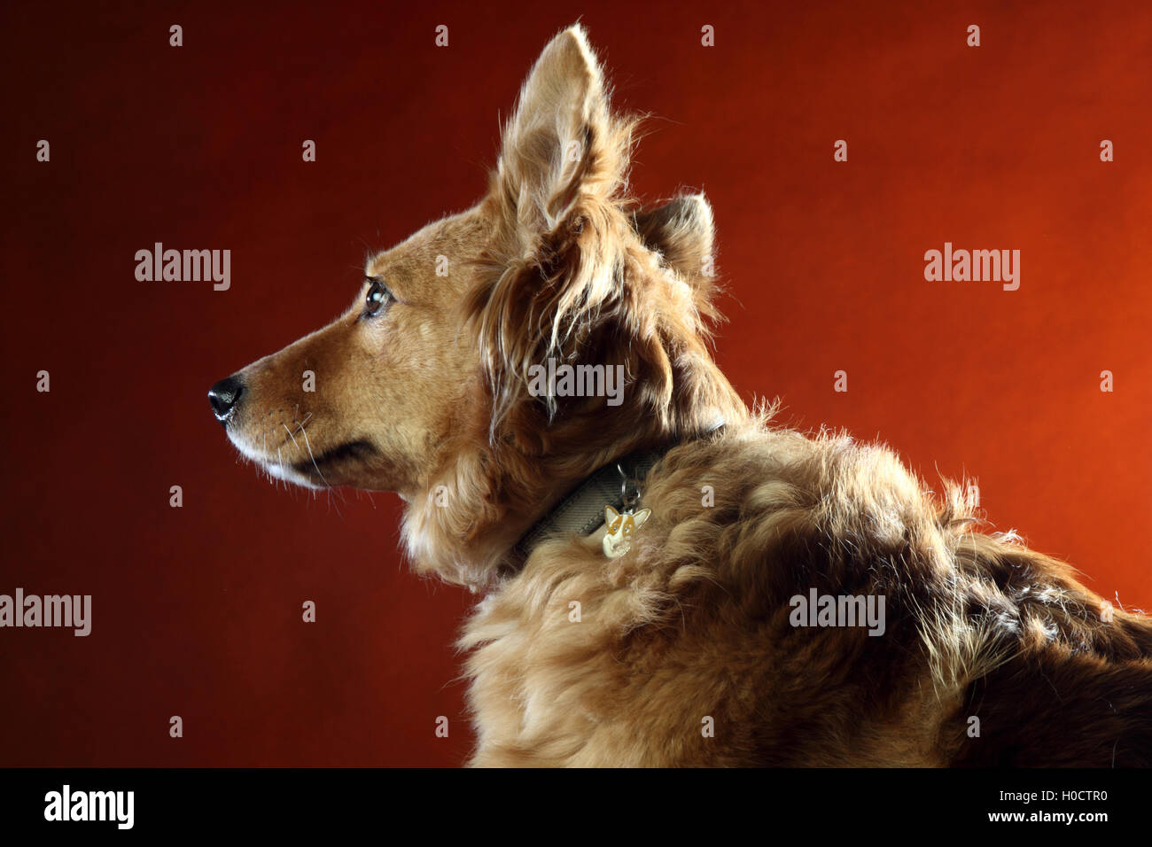 Gold And Copper : Italian mongrel dog hair from the gold and copper and black stock