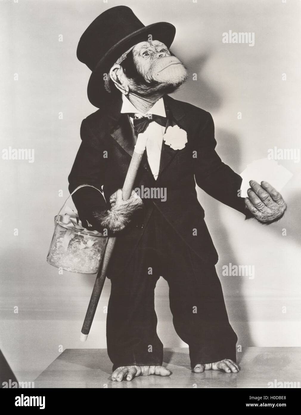 Monkey dressed as a groom - Stock Image