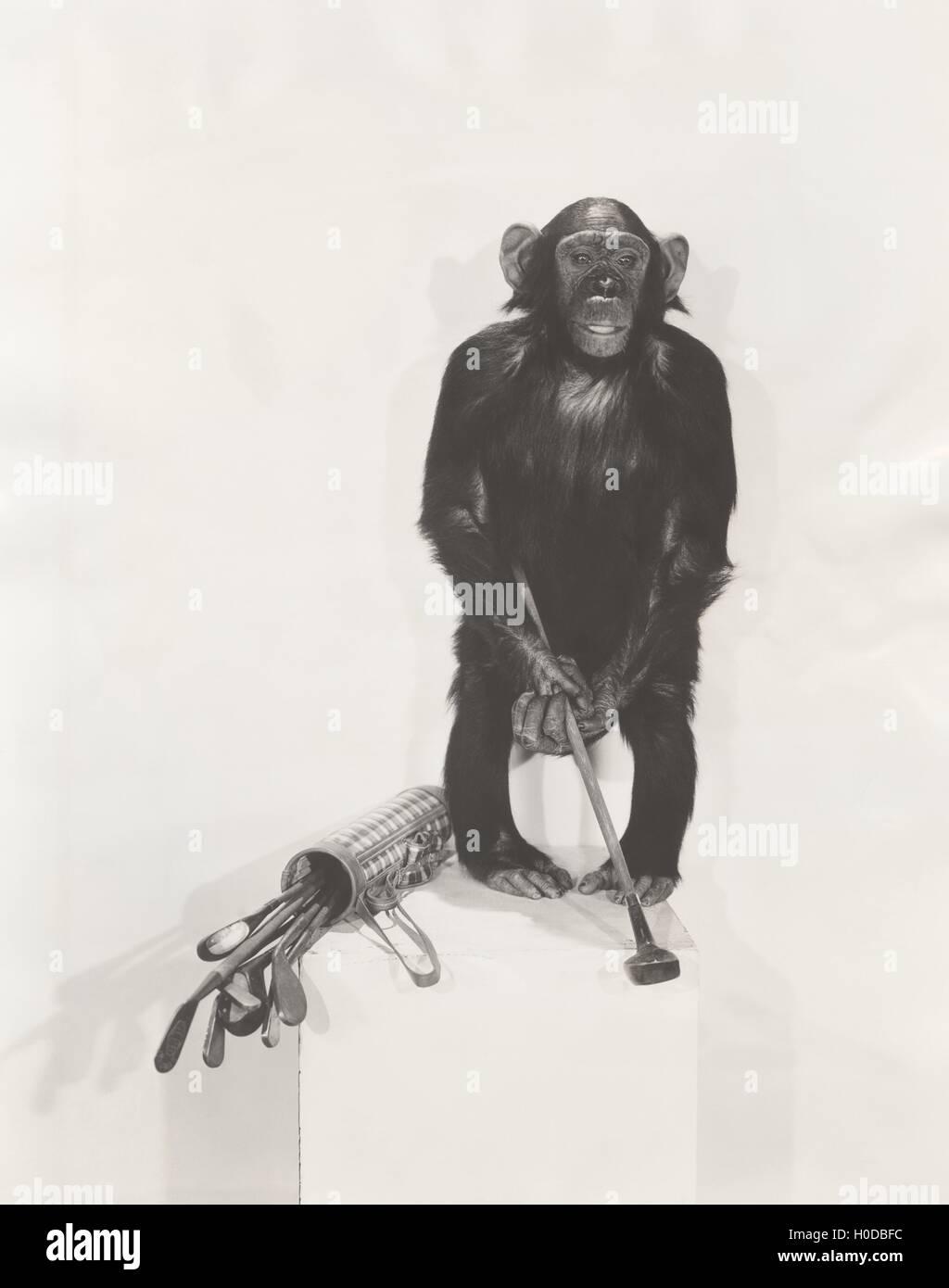 Monkey holding a golf club - Stock Image