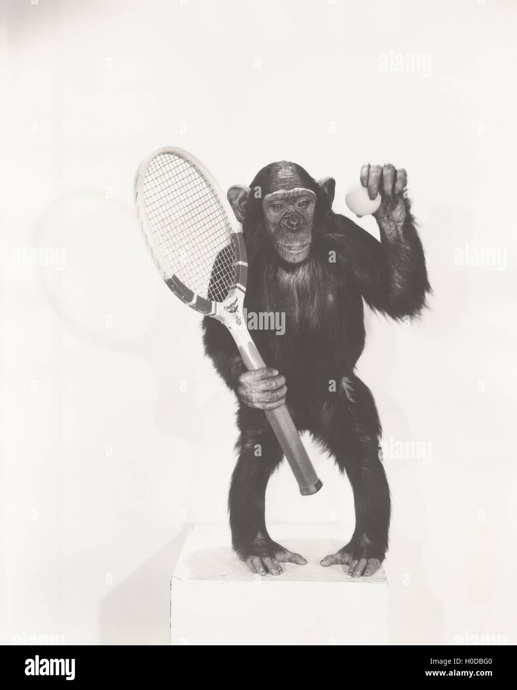 Monkey holding a tennis racket and ball - Stock Image