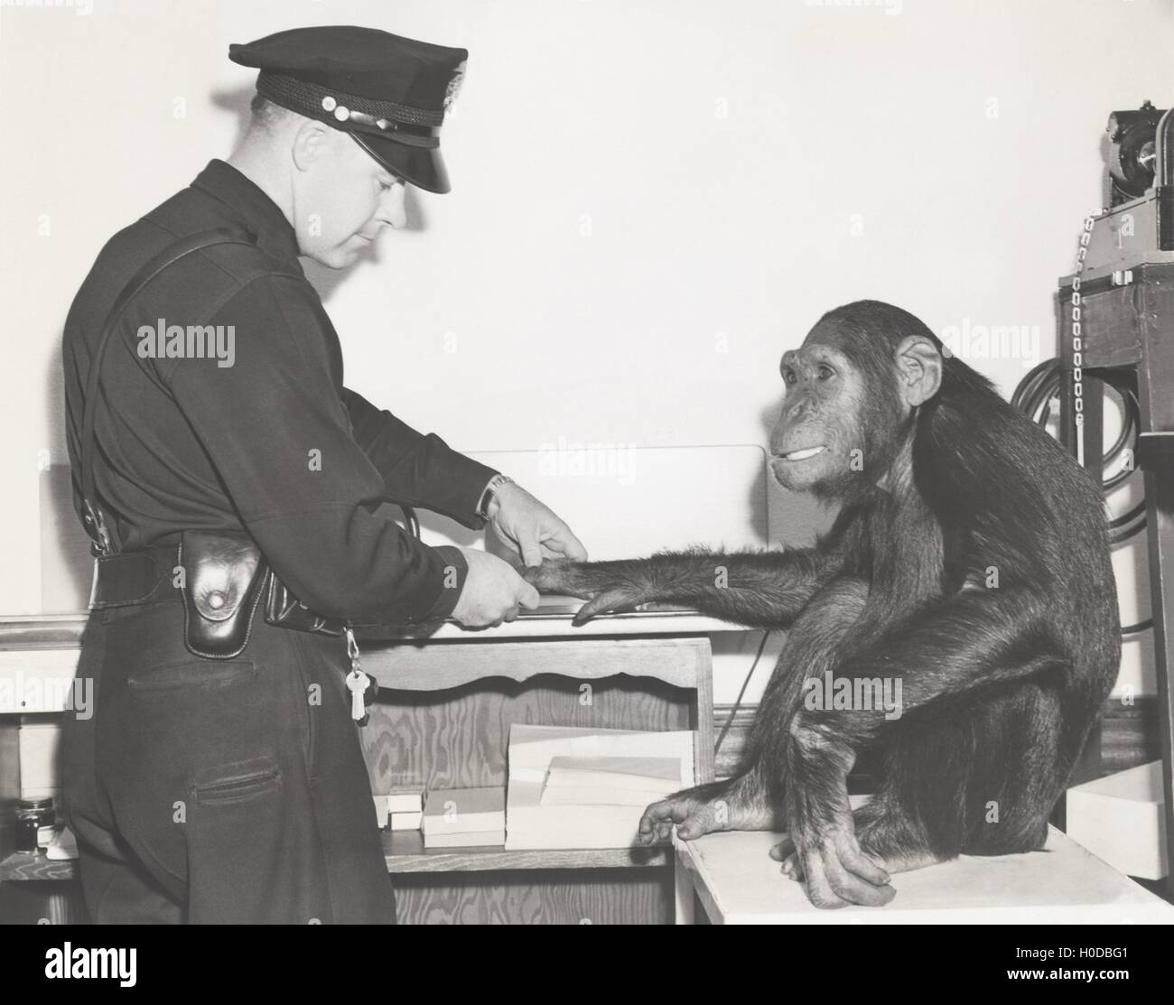 Monkey fingerprinted by police officer - Stock Image