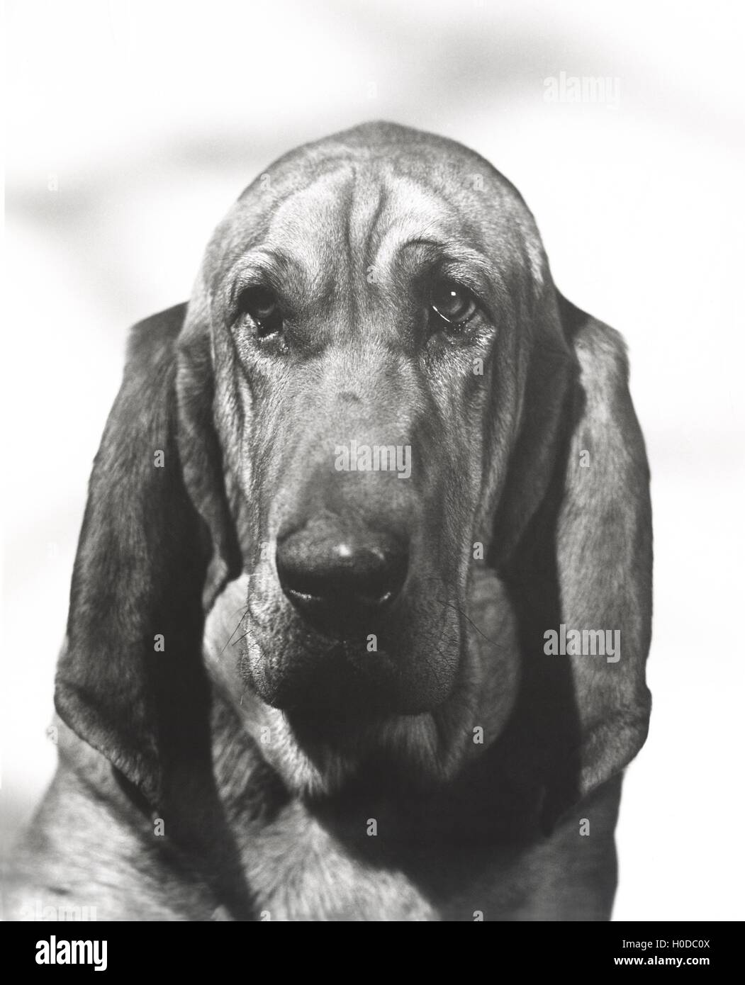 Portrait of a bloodhound - Stock Image
