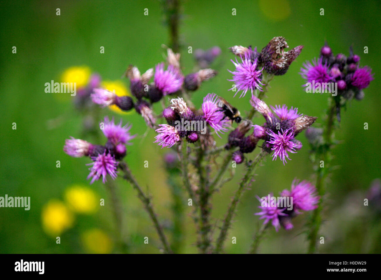 Blume, Alpen, Oesterreich. Stock Photo