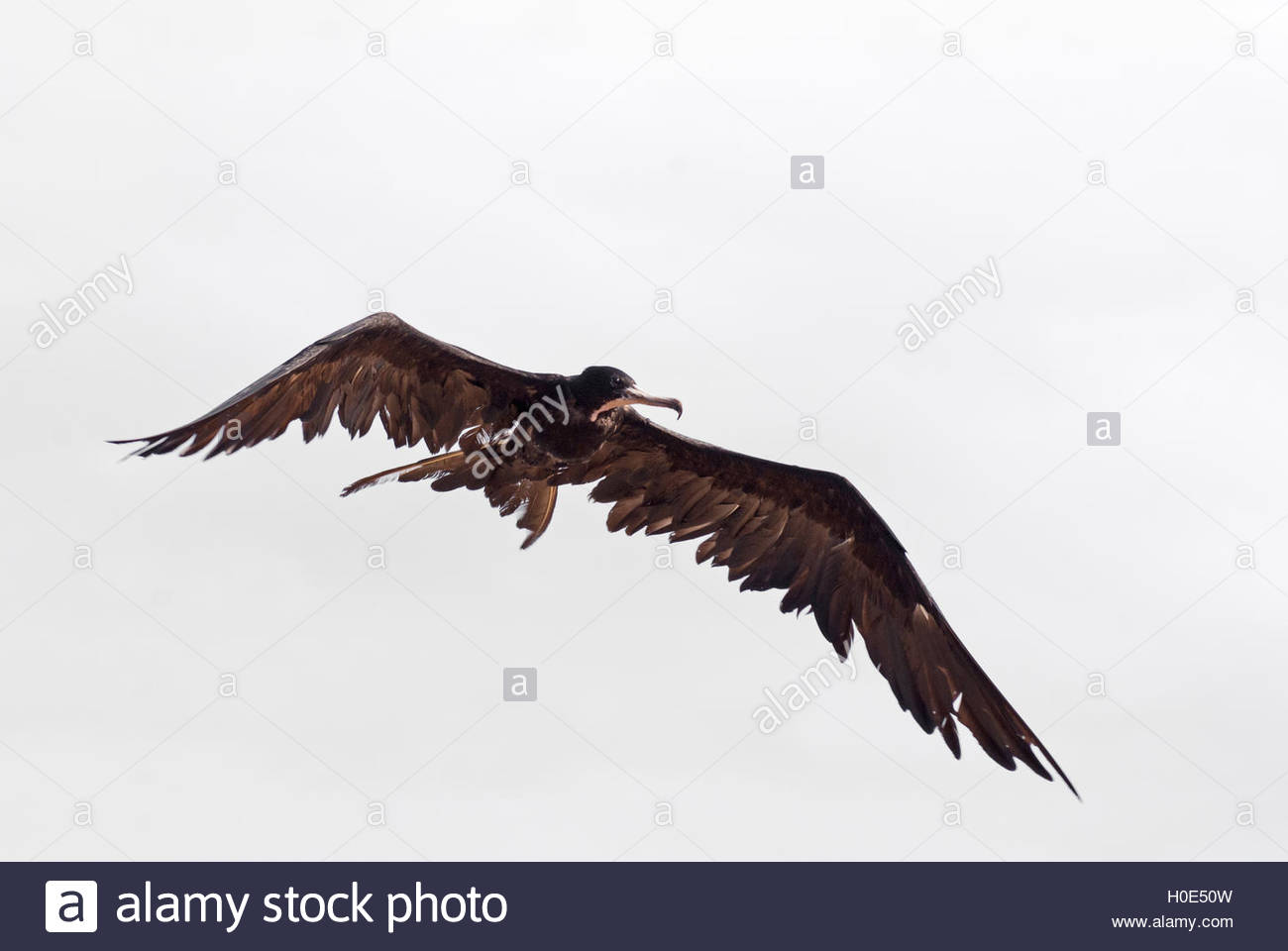 A young frigate bird in flight with its wings extended. - Stock Image