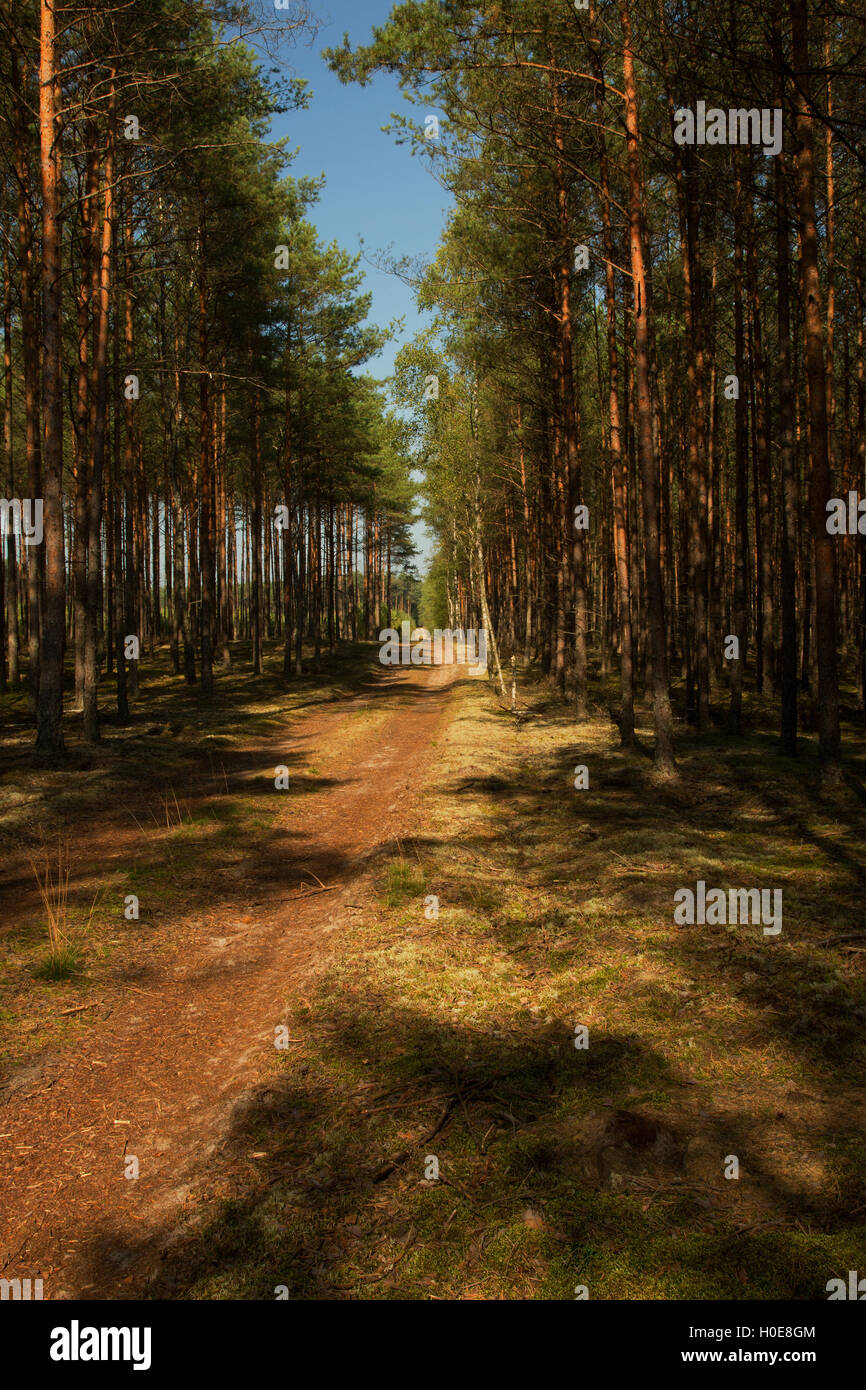 Forest, sandy road among the pines and spruces in the Bory Tucholskie National Park in summer under blue sky. Interesting - Stock Image