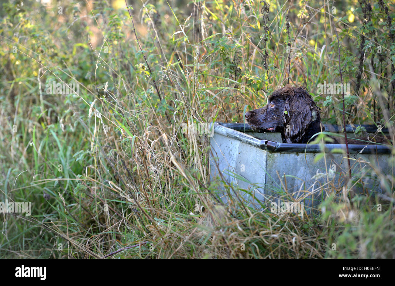 Working cocker spaniel sitting in a cattle trough - Stock Image