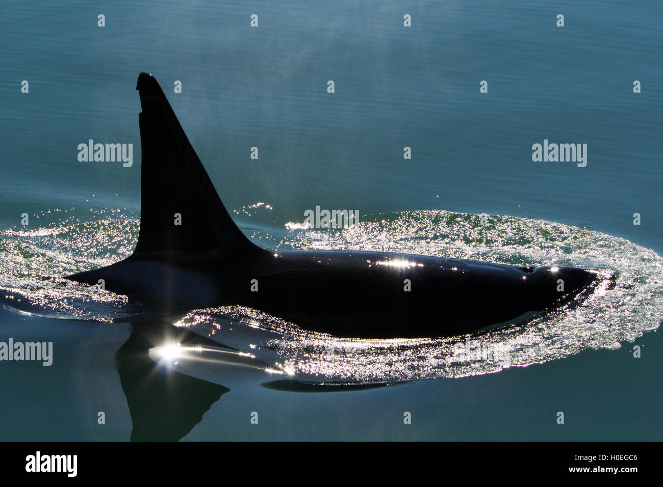 Male Transient Killer whale surfacing in Glacier Bay National Park - Stock Image