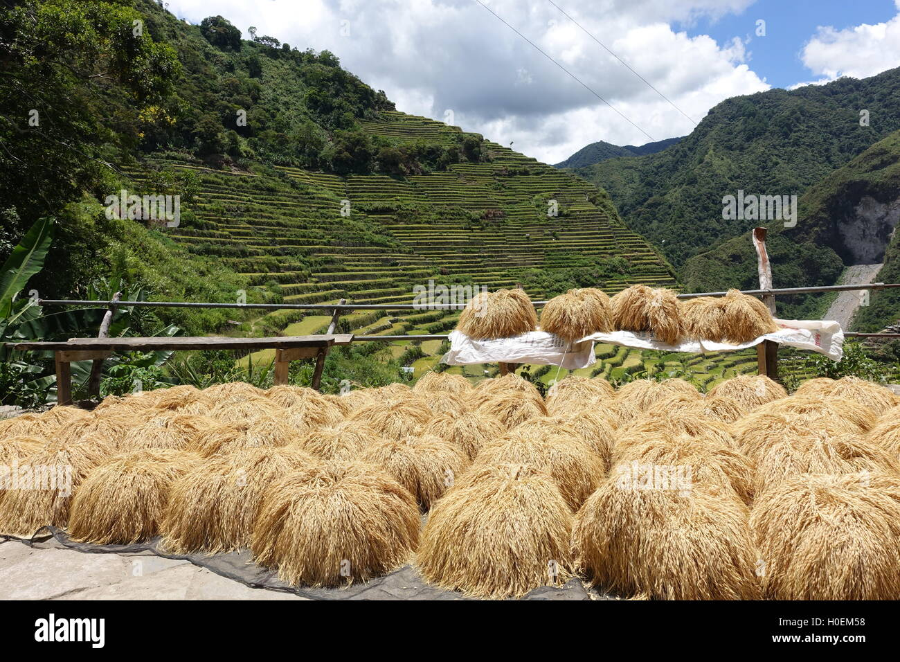 Golden rice bundles sun drying with Banaue and Baguio Rice Terraces and mountains in the background - Stock Image
