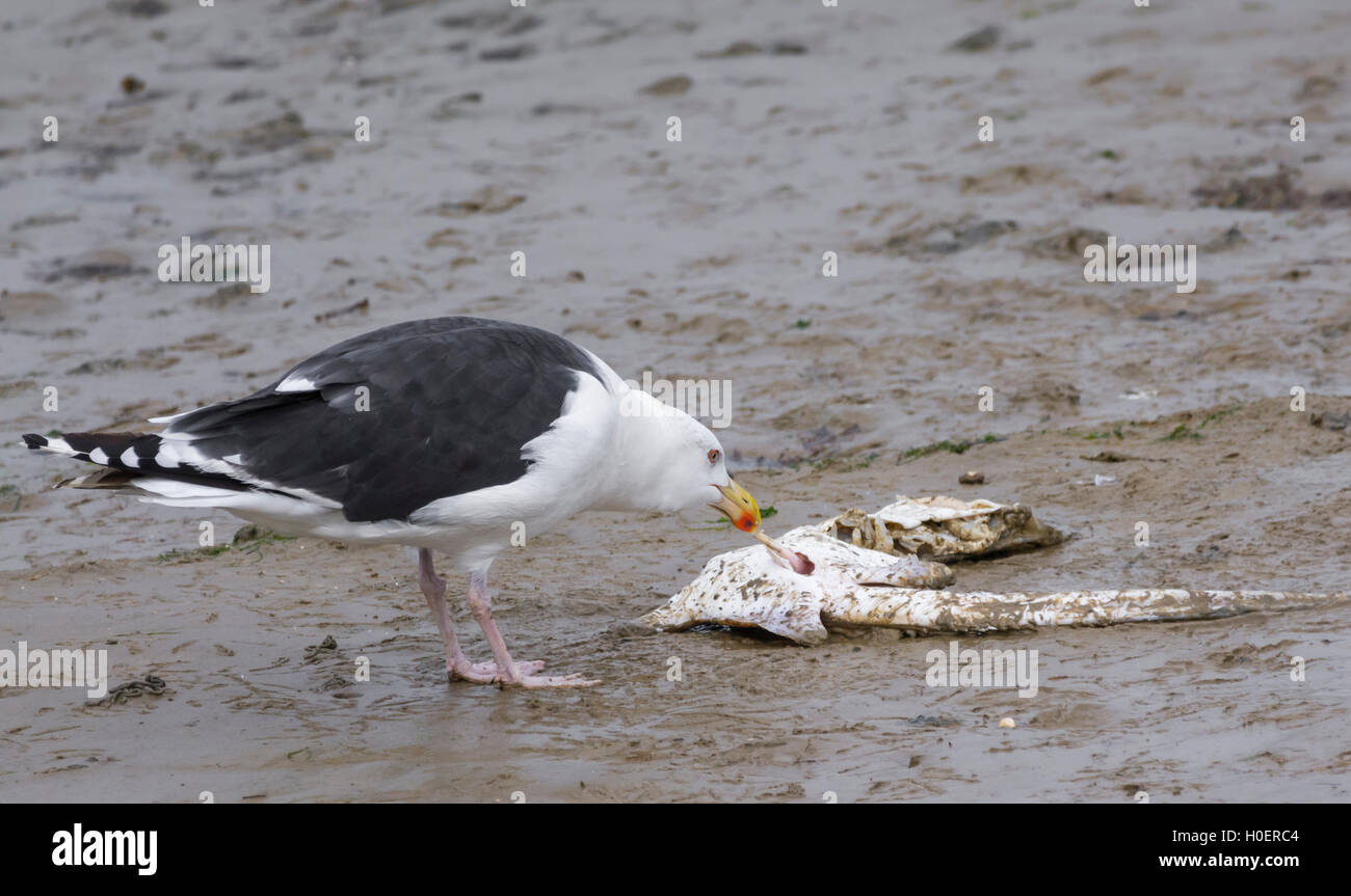 Great Black Backed Gull (Larus marinus) eating a dead fish on land in West Sussex, England, UK. - Stock Image