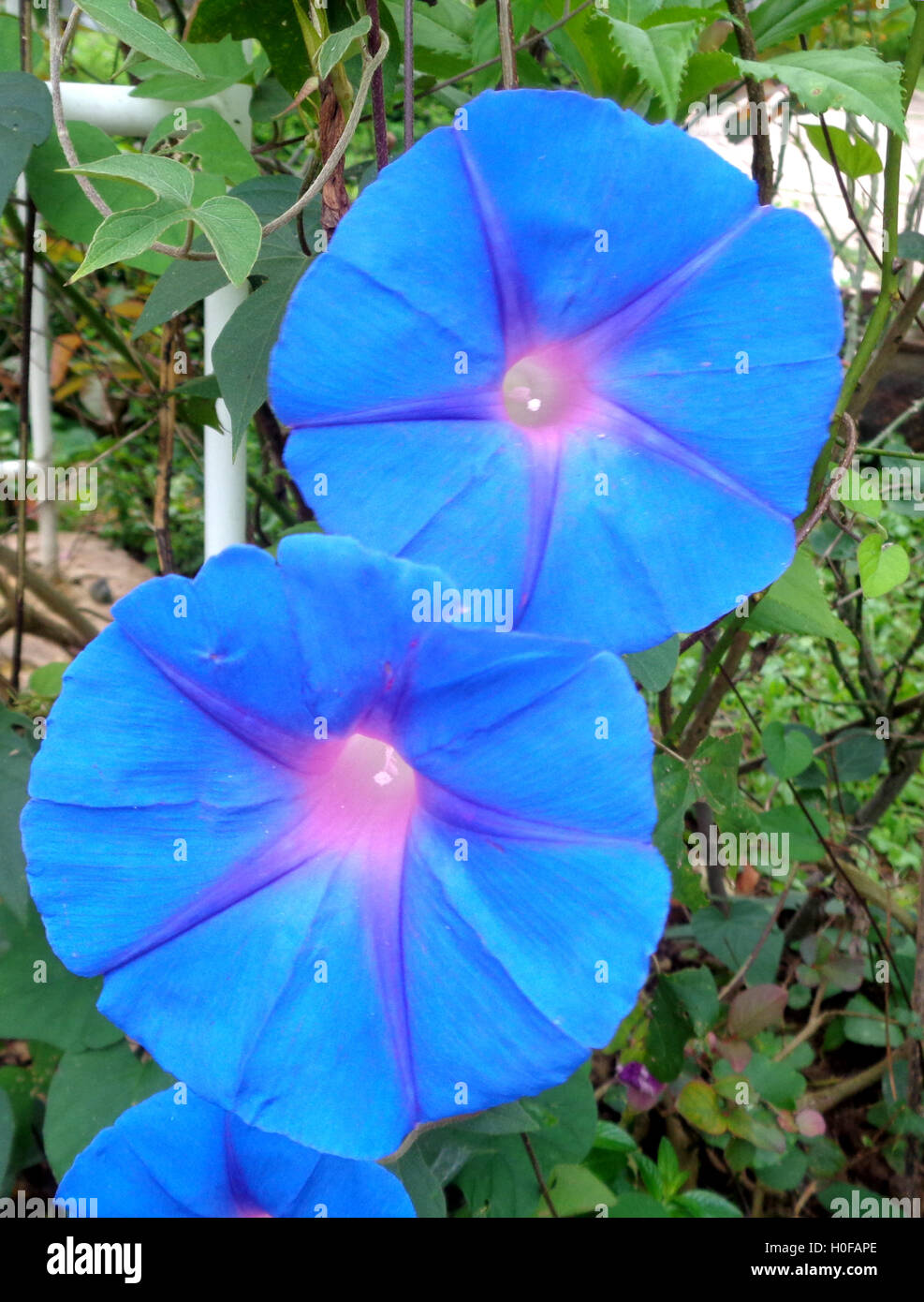 Two Blooming Blue Morning Glories in the Garden - Stock Image