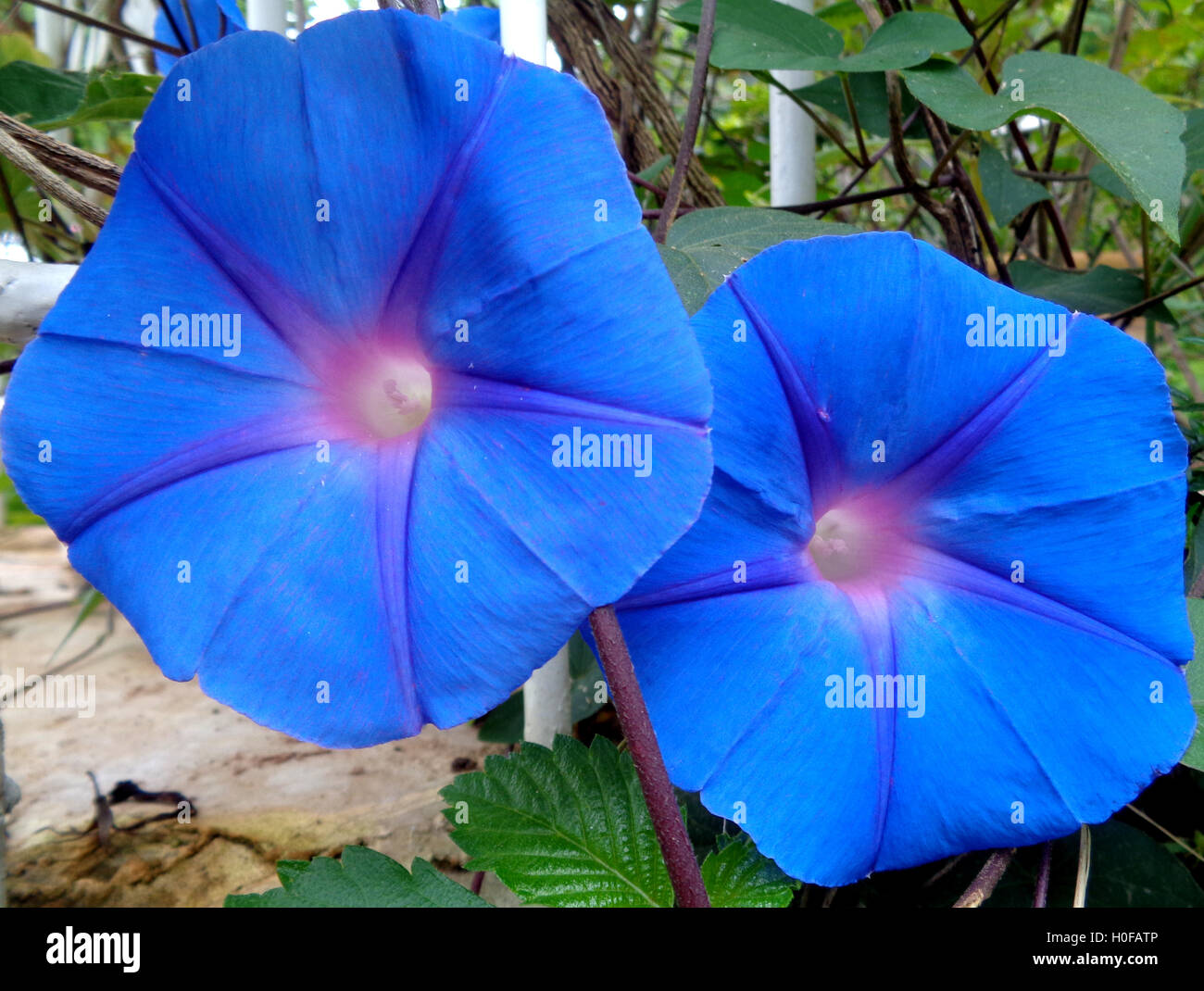 Close-up of Two Blooming Blue Morning Glories - Stock Image