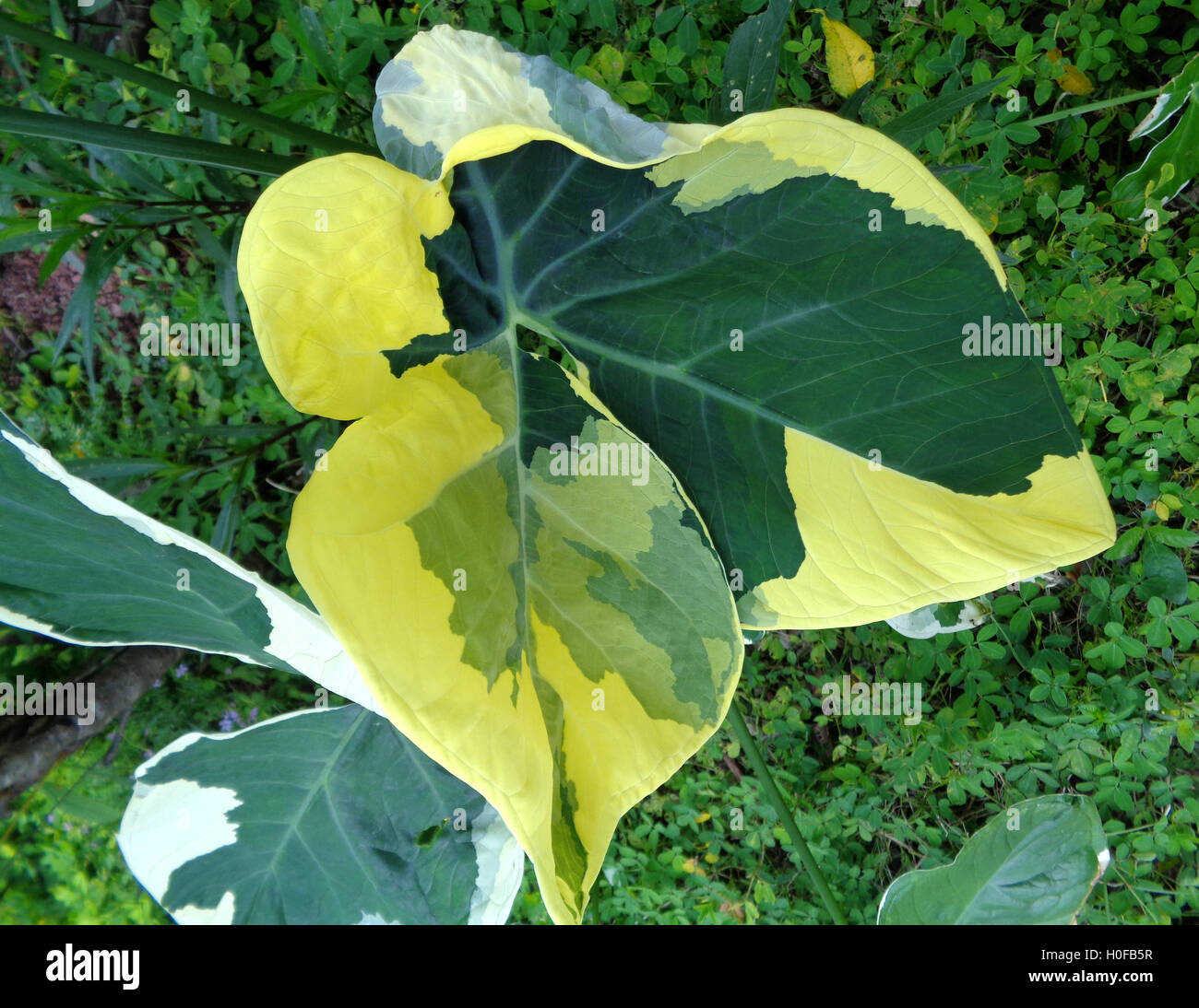 Close up of Two Tone Green Leaf - Stock Image