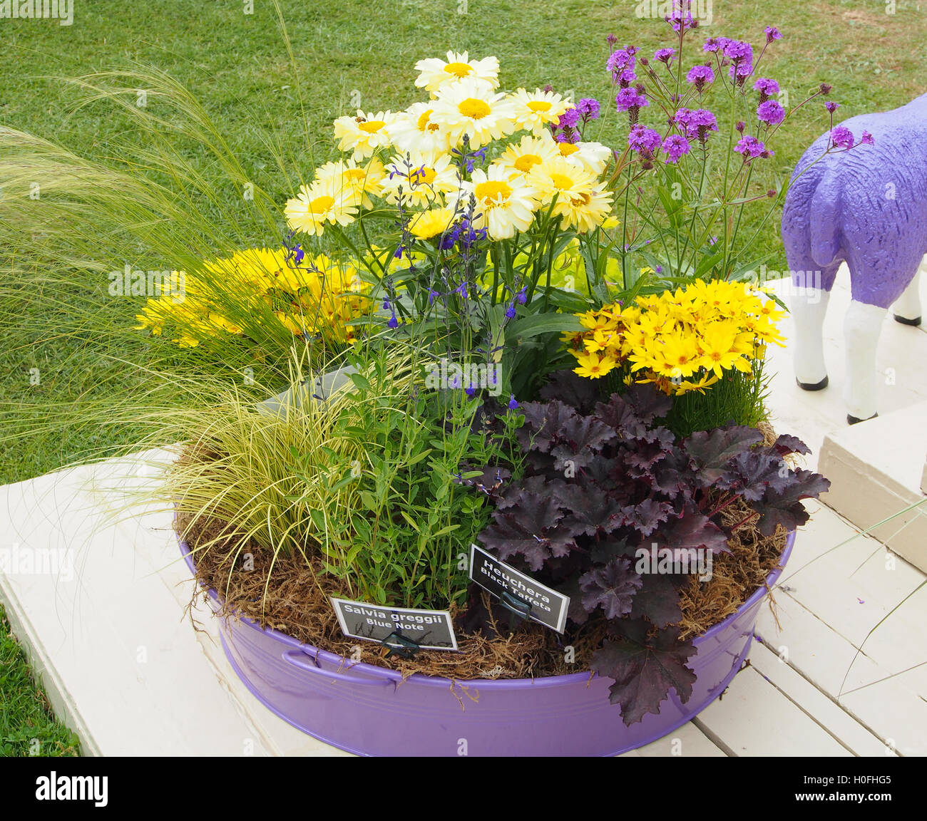 Display of various yellow and purple flowers growing in a lilac display of various yellow and purple flowers growing in a lilac metal container at tatton park flower show 2016 in cheshire uk mightylinksfo