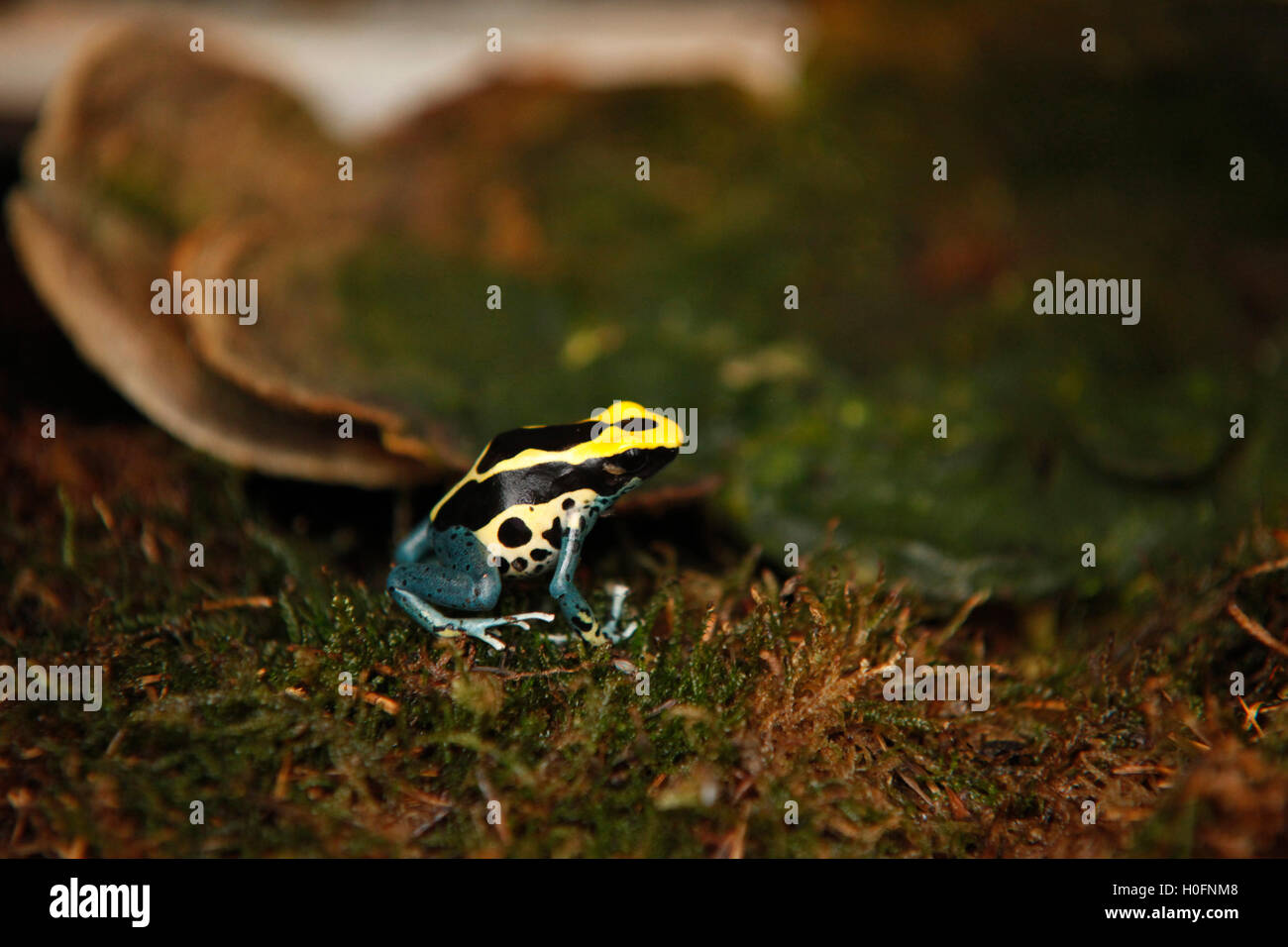 Exotic tiny blue yellow colored frog close reptile - Stock Image