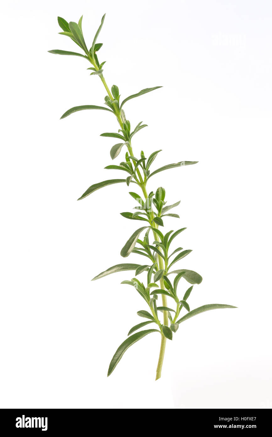 Herbs and spices savory branches - Stock Image