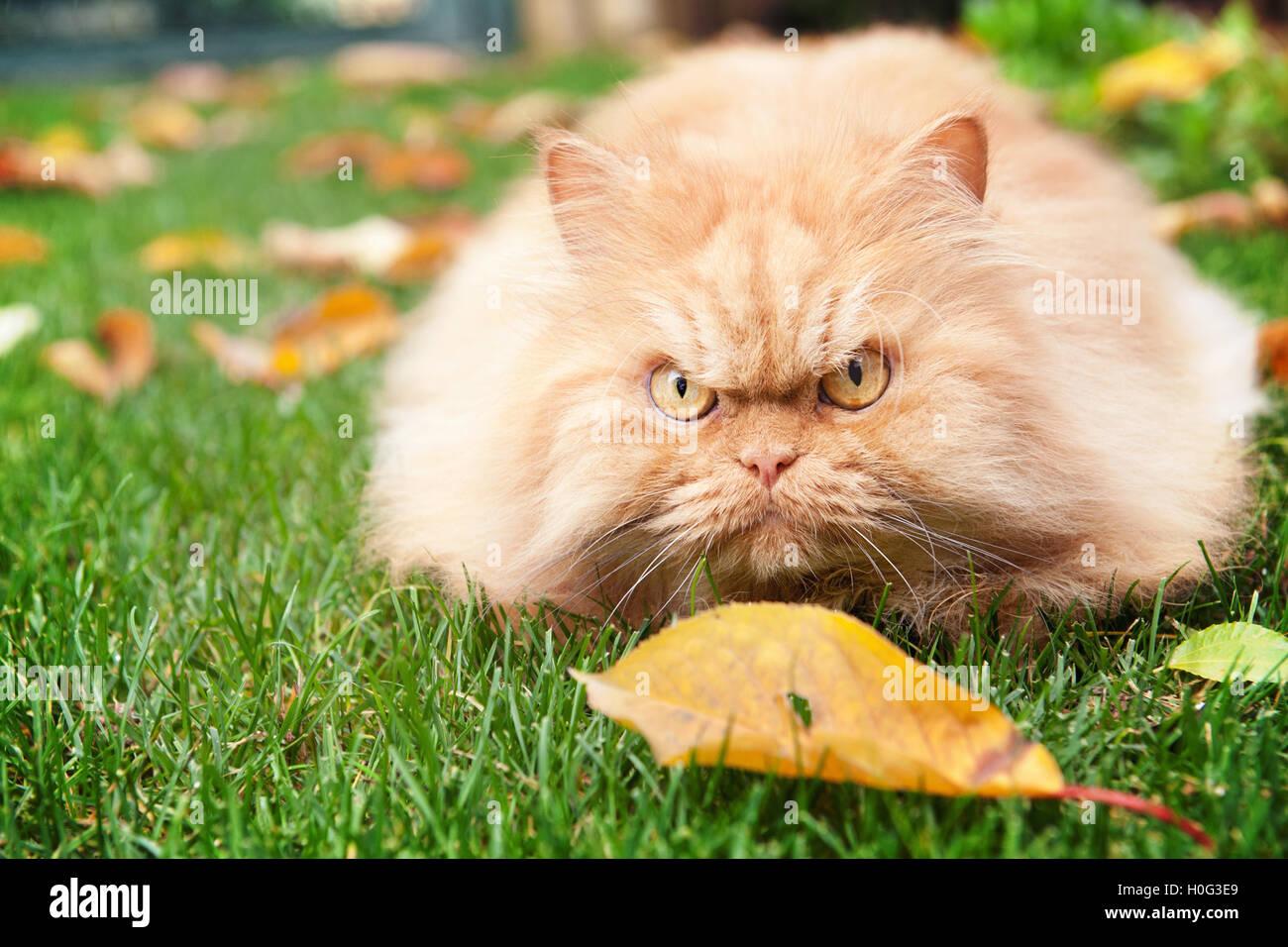 Orange Persian cat in autumn - Stock Image