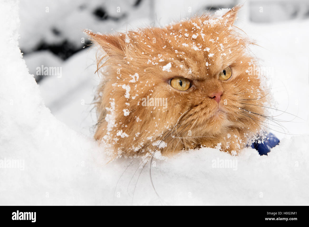 Portrait of orange Persian Cat in snow - Stock Image