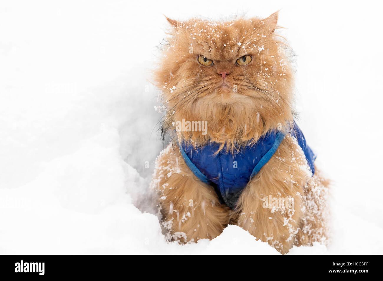 Orange Persian Cat in snow looking at camera - Stock Image