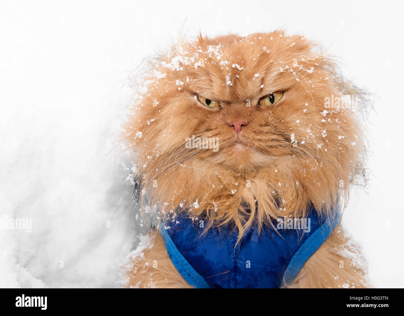 Portrait of Persian Cat in snow - Stock Image