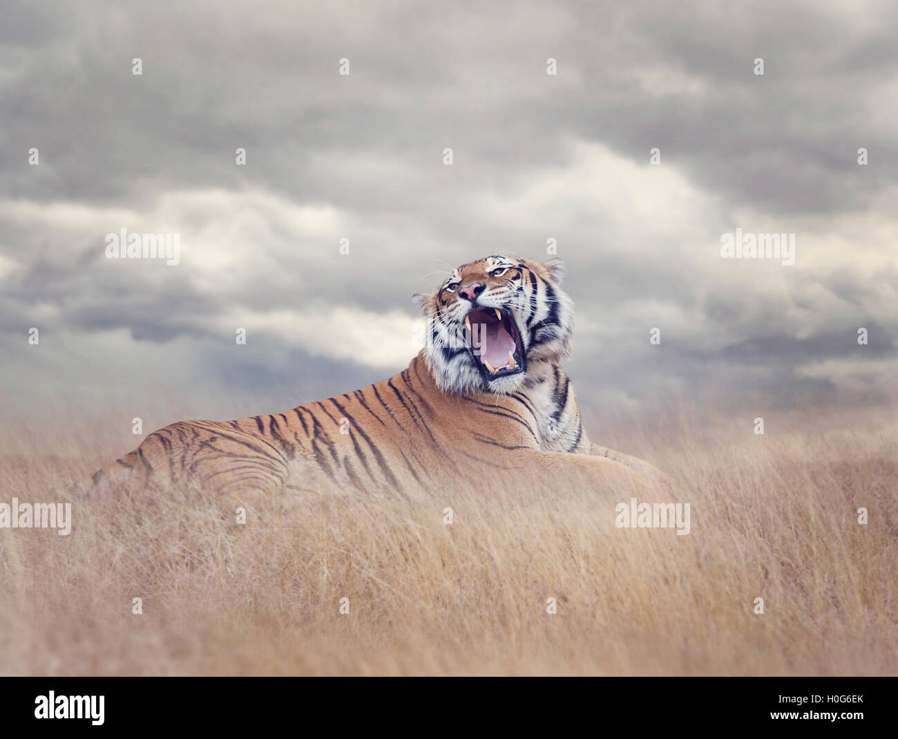 Bengal Tiger Resting in the Grass and Roaring - Stock Image