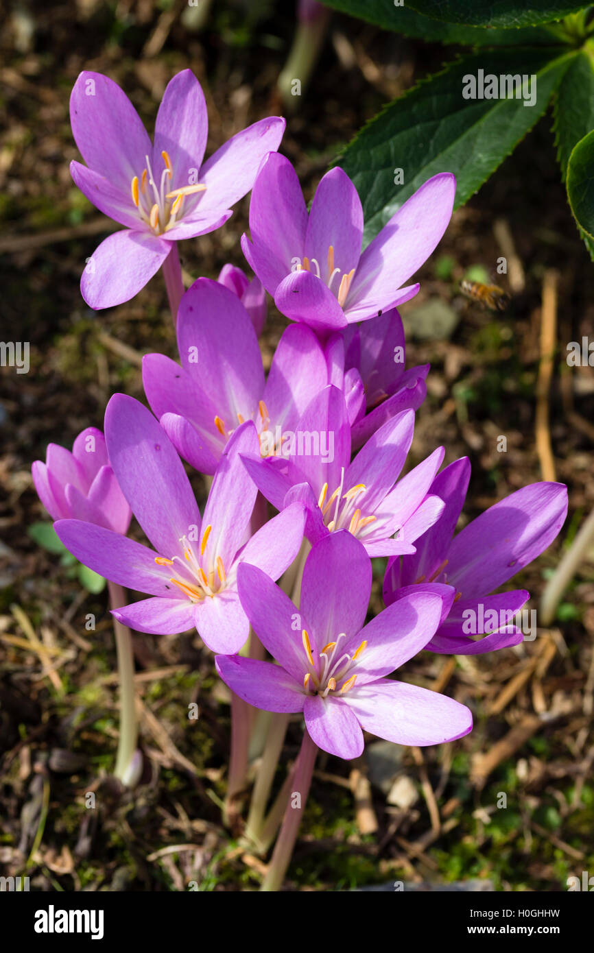 John Grimshaws Garden Diary: Some early colchicums