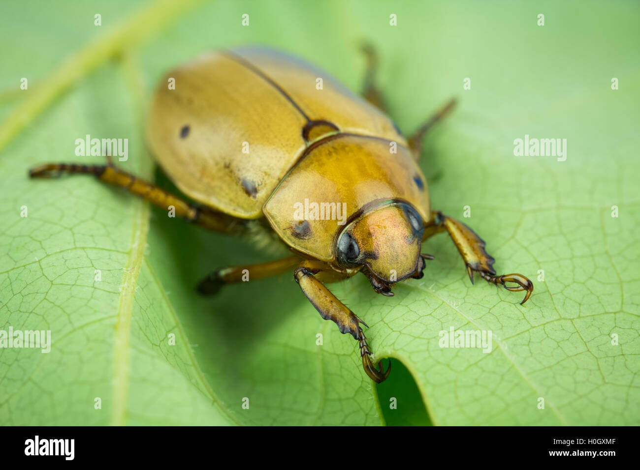 Macro of grapevine scarab beetle, on leaf. Tarsal claws on forelegs. Life as an insect can be hard - note the damaged - Stock Image