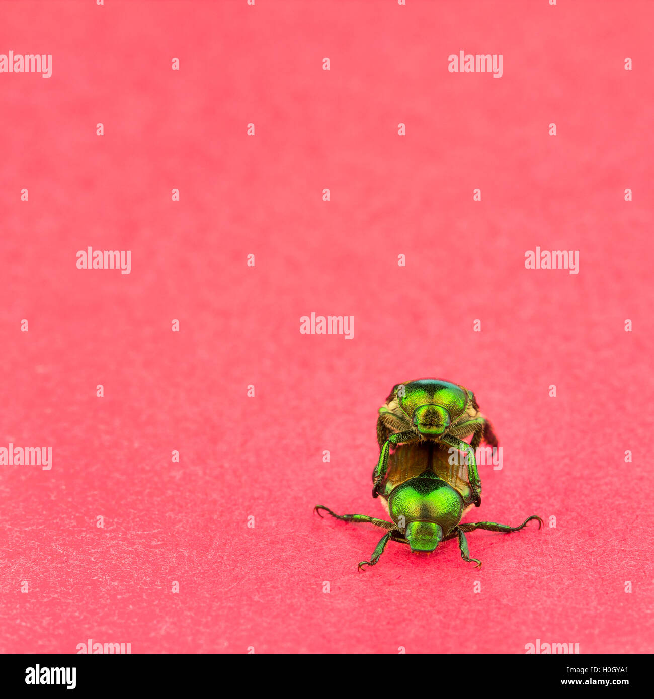 Front close up view of two Japanese Beetles, on a red background. - Stock Image