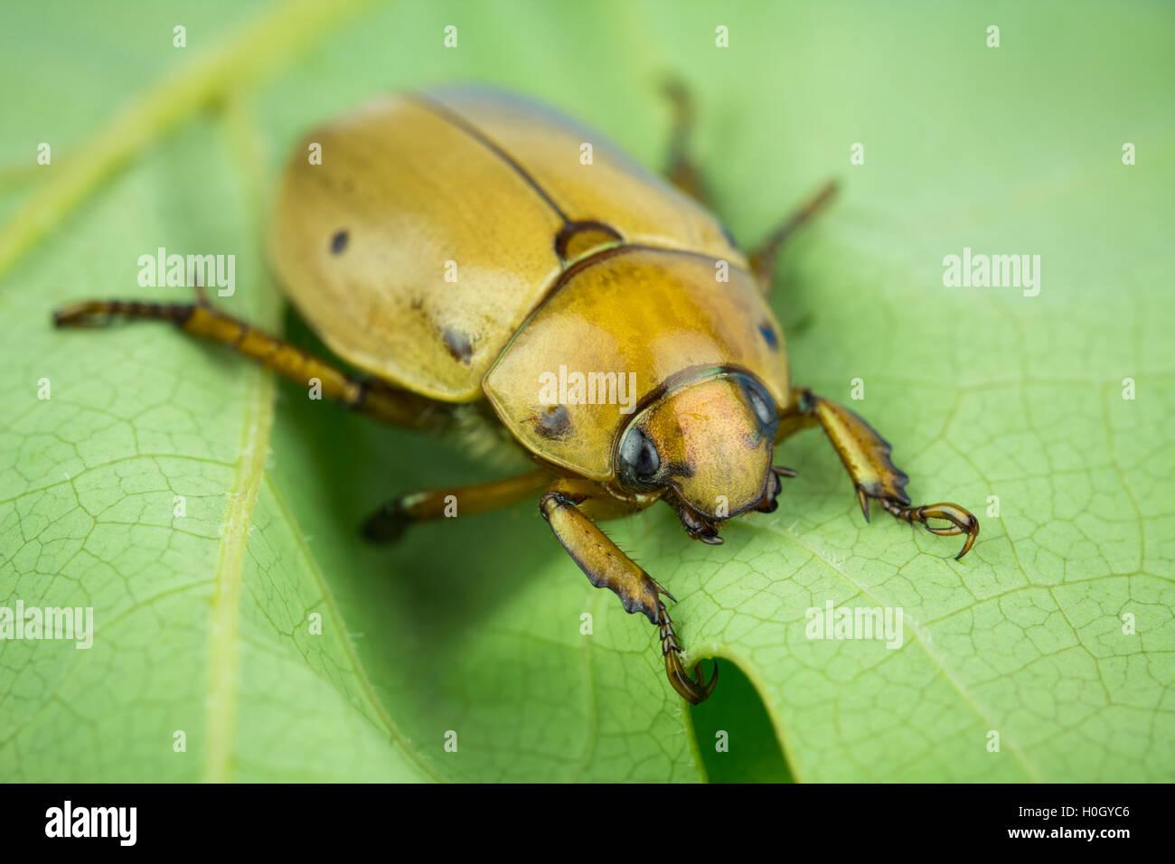 Macro of injured grapevine scarab beetle on leaf. Tarsal claws on forelegs. - Stock Image