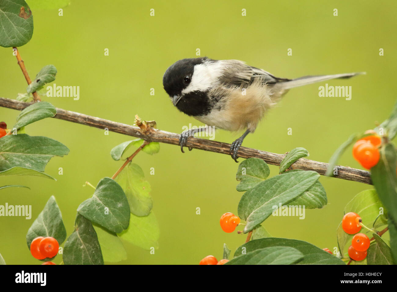 A Black-capped Chickadee among honeysuckle berries. - Stock Image