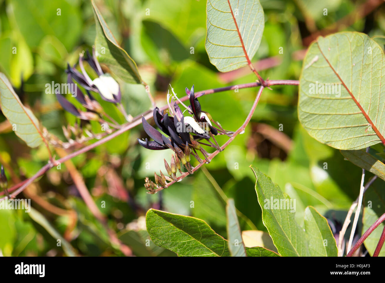 Vigorous hardy  black and yellow West Australian  twining wildflower black coral pea Kennedia nigricans  blooming - Stock Image
