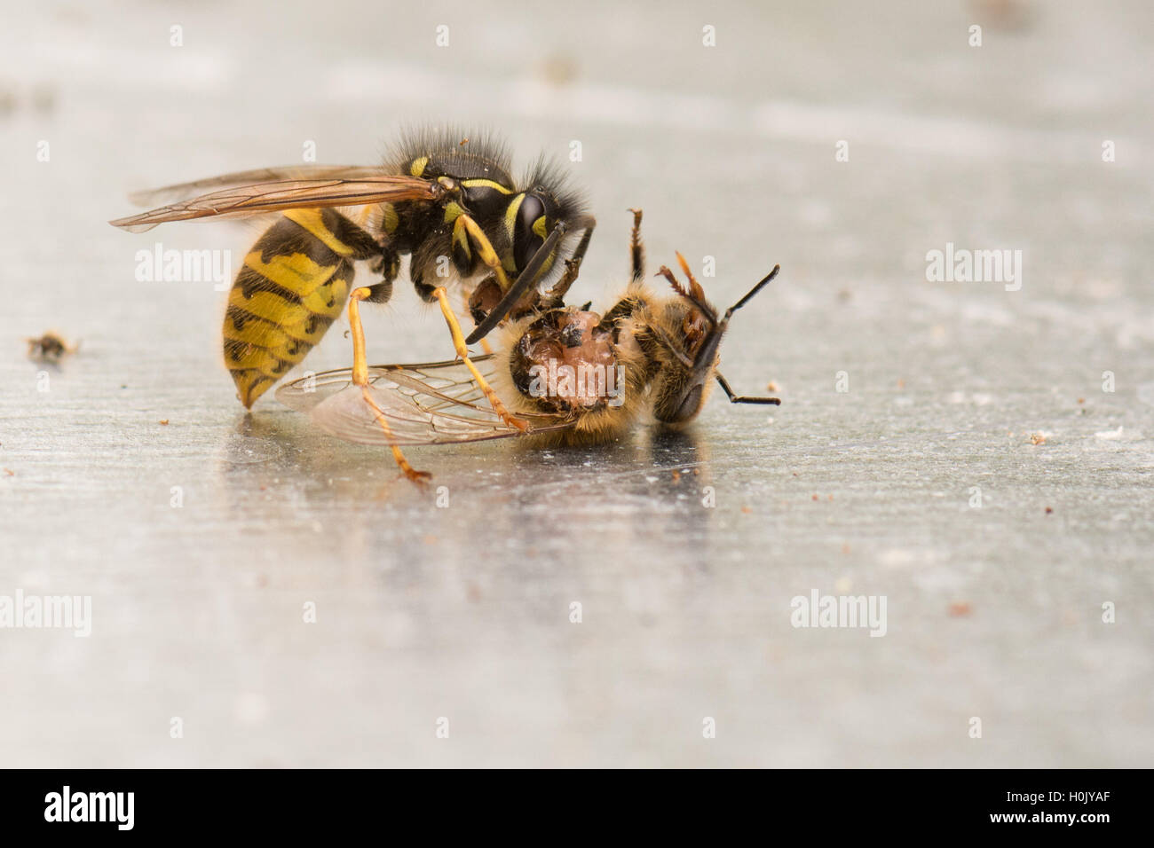 Wasp (Vespula) eating a honey bee that is still alive and moving - Scotland, UK - Stock Image