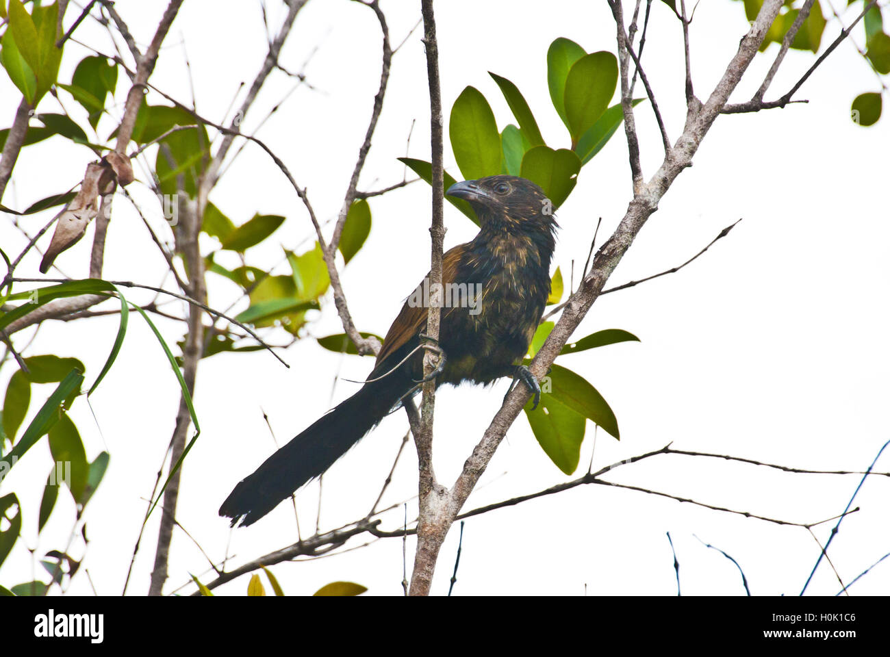 September 21, 2016 - Bintan, Riau Islands, Indonesia - BINTAN, INDONESIA - SEPTEMBER 21 : The lesser coucal (Centropus - Stock Image