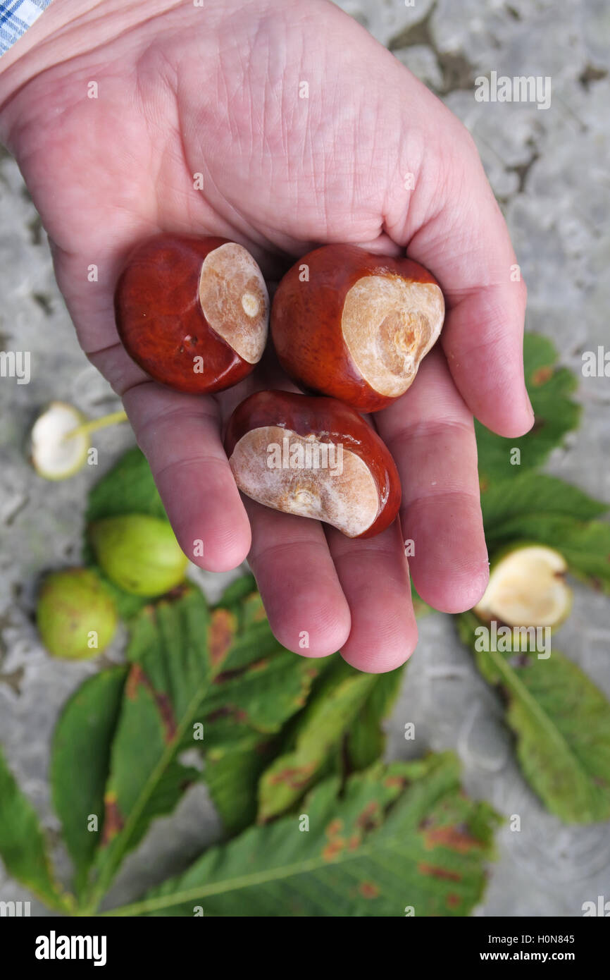 Horse Chestnuts, perfect for making autumn conkers in England, UK - Stock Image