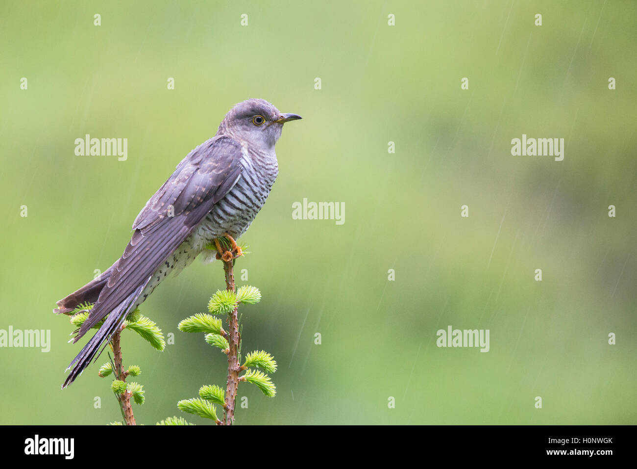 Cuckoo (Cuculus canorus), perched on a tree top, Stubai Valley, Tyrol, Austria - Stock Image