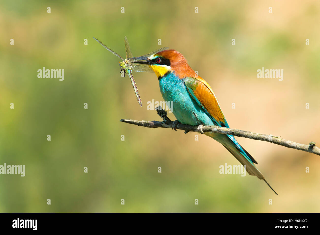 European bee-eater (Merops apiaster) with dragonfly, prey, Burgenland, Austria Stock Photo