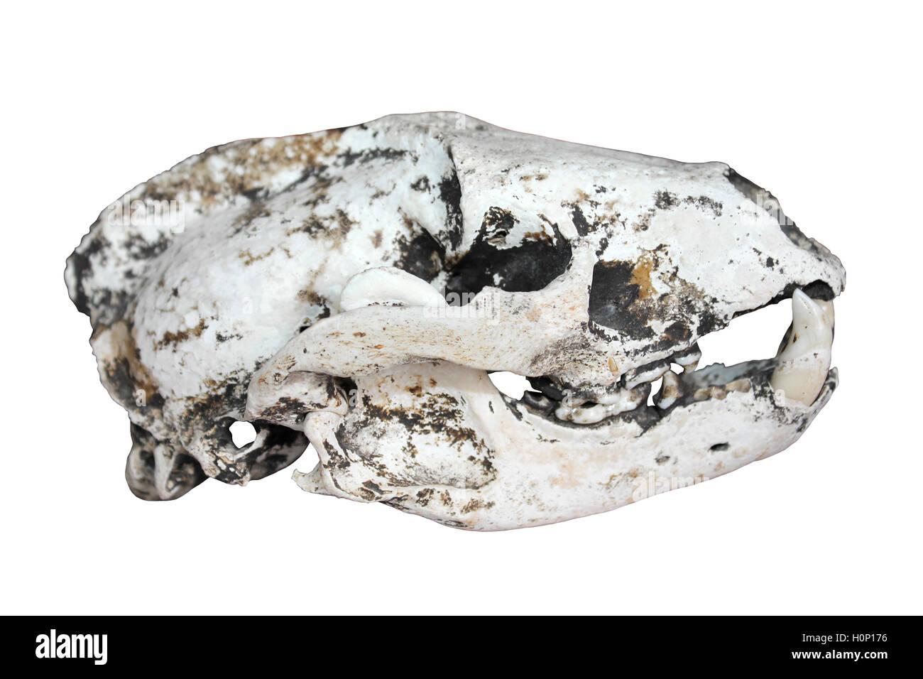 European Badger Skull Meles meles Side View - Stock Image