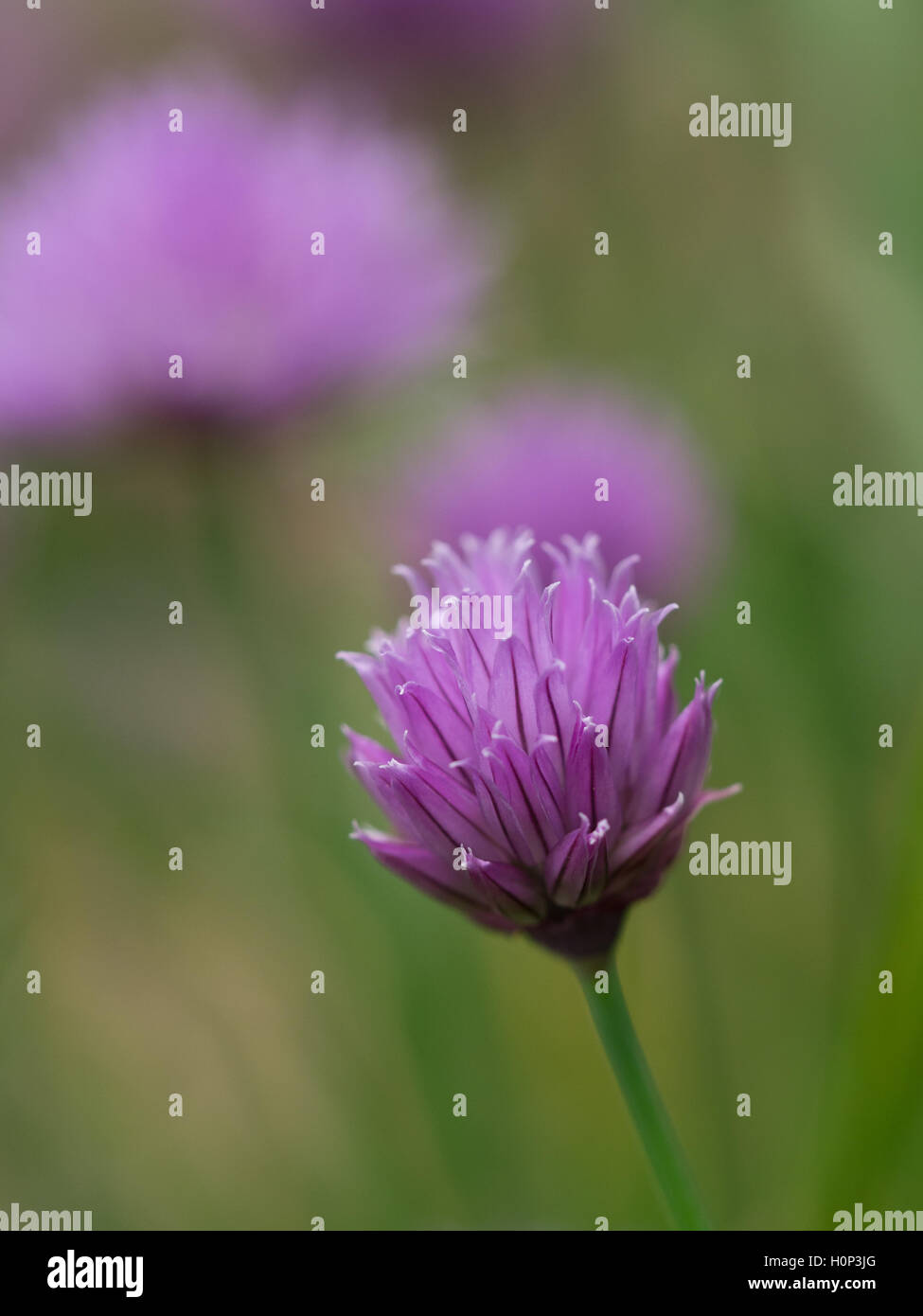 Chives flowerhead - Stock Image