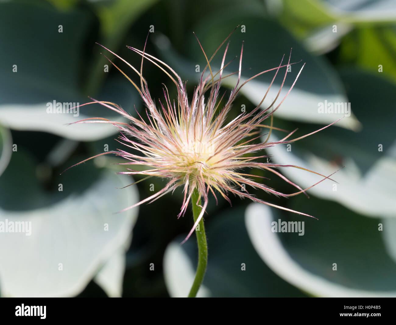 Pasque flower seedhead - Stock Image