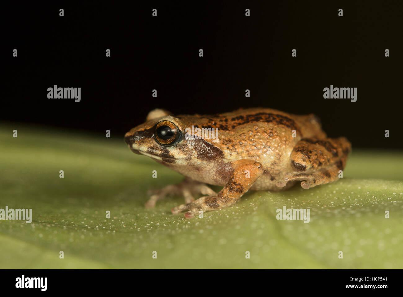 Small bush frog, Raorchestes dubois Kodaikanal, Tamil Nadu. Breeds during monsoons and froglets hatch from eggs. - Stock Image