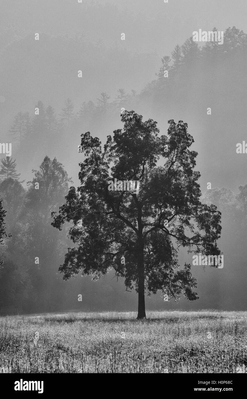 Solitary tree with bright light and forest background in Black and White - Stock Image