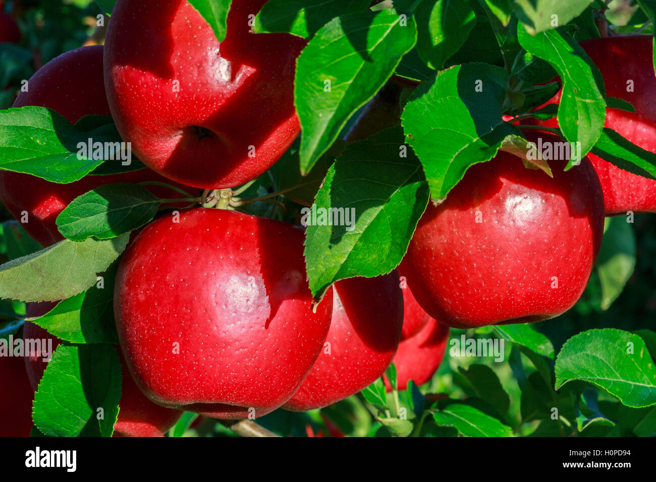 Honey Crisp apples on trees in the orchard. - Stock Image