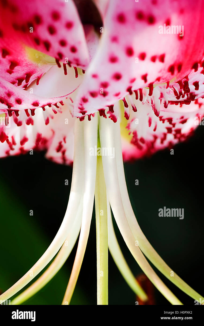Macro shot of Lilium specious petals, stamen and pollen covered anthers Stock Photo